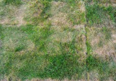 Dying grass from overheated sod